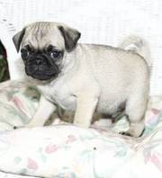 cute and loving pug puppies for good homes