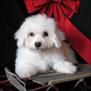Bichon Frise Puppies To be Rehomed