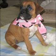 Female Boxer Puppies For Caring Homes