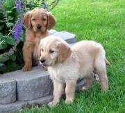 Two Lovely Golden Retriever Puppies For Loving Homes