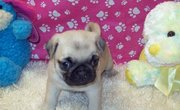 favorite puppy. PUG PUPPIES FOR ADOPTION
